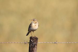 African Pipit (name corrected) by MaresaSinclair