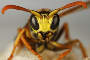 Wasp by Tombonte
