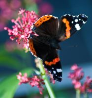 another butterfly by svendo