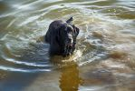 Labrador in Water by dannypyle