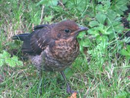 BABY BLACKBIRD by GeaAusten