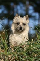 Ida, the Cairnterrier by SaNNaS