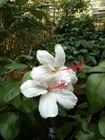 Two Hibiscus by september28