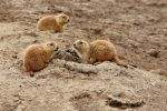 Colorado Prairie Dogs by TheSleepyRabbit
