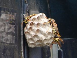 Yellow Jacket Wasps Nesting 3 by FantasyStock