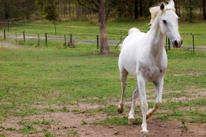 Arab trot front on a by Chunga-Stock