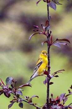 Female Gold Finch by MosesImages