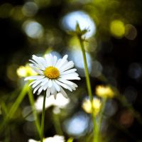 Daisies VII by Justysiak