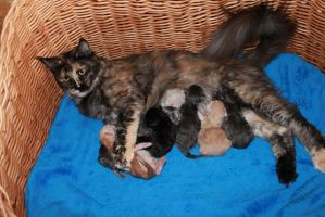 Mom and newborns by MainecoonLena