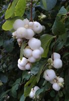 snowberries by marob0501