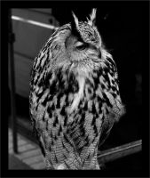 Owl- In Black and White by pixlepixie