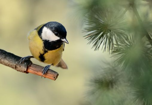 Great tit by corsuse