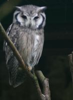 Northern White-faced Owl II by Parides