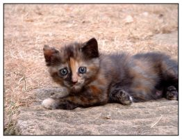 Tortoiseshell baby cat by jmb462