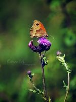 Small Heath Butterfly by OliverBPhotography