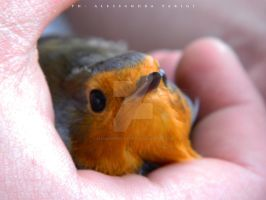 Erithacus rubecula (Pettirosso) by AlessandraPlasterpad