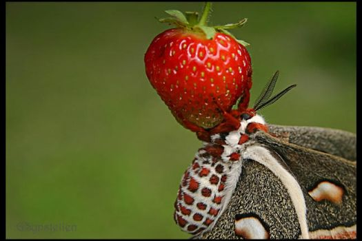 Cecropia on the Strawberry by UffdaGreg