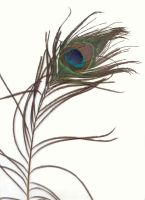 peacock's feather by doko-stock
