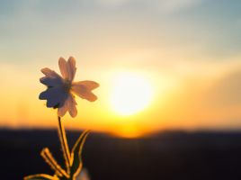 Flower in the sunset by sztewe