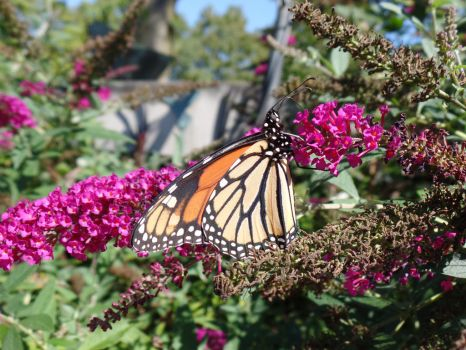 Migrating Monarch by industry18
