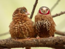 Mr and Mrs Cut-throat Finch by Bluelizzy