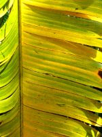 Traveler's Palm Frond by joeyartist