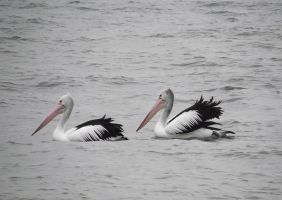 Pelicans by RaspberryHunter