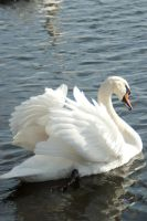 Swans and water birds 11 by steppelandstock