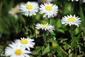 White Flowers in the Sun_ by Fellrakete by Fellrakete