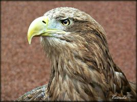 Sea Eagle by Estruda