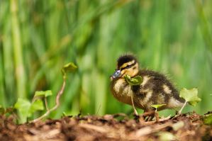 Little Duckling by amrodel