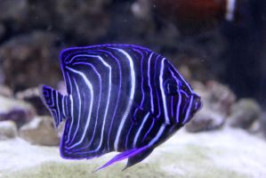 Blue Faced Angelfish 2 by firenze-design