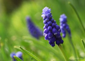 Muscari botryodes by tjuh