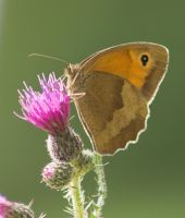 Meadow brown by Parides