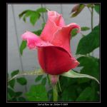 Curl of Rose 2247 by Eolhin