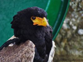 The Raptor Centre - Groombridge 2015 by Fragsey