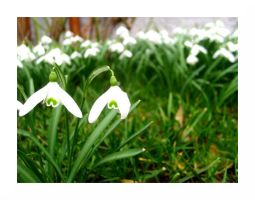 snowdrop I by La-Speranza