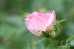 PERFECT WILD ROSE by GeaAusten