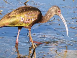 White-faced Ibis in Central California by Geotripper