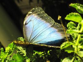 Common Morpho by Demon-Prayer