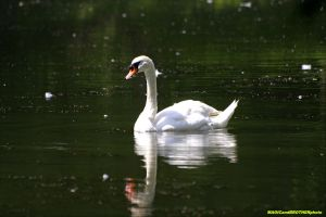 SWAN ON LAKE by magicandbrother