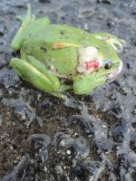 The dead plastic frog hurt by car by ed---end