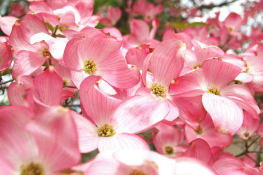 Pink Blossoms by dalewaters