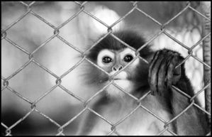 Monkey by darkosaric