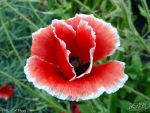 Red Poppy by PaSt1978