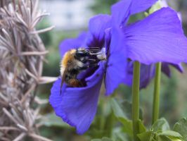 Bumble Bee feeding by kisses4cuddles