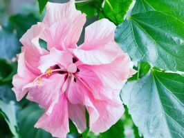 Pink Hibiscus by sztewe