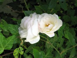 white roses 2 by Meltys-stock