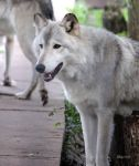 Gray Wolf by cindy1701d