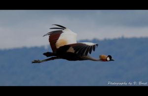 Crowned Crane by Solarstones